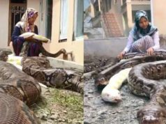 Unbelievable! Meet The 14-Year-Old Girl Who Has Six Giant Pythons As Her Pets (Photos)